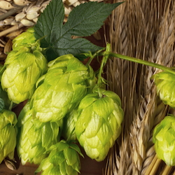 beer hops and wheat