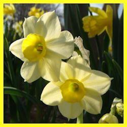 Minnow daffodil, cheap enough to plant a whole shoal