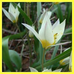 Tulipa turkistanica 'Tarda', adds a delicate wildflower look