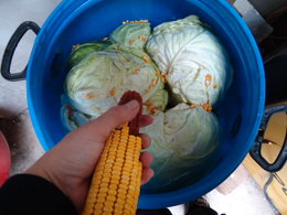 Adding corn seeds from the cob