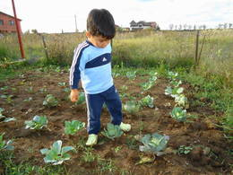 My grandson observing the cabbage seedlings