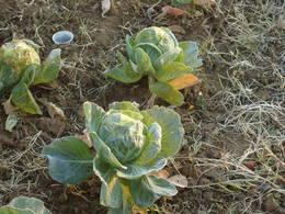 Hoar frost on cabbage in my garden