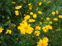 Coreopsis blooms in my garden