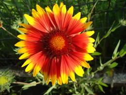 Gaillardia bloom close-up