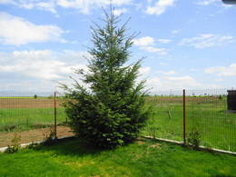 My white spruce in the summer