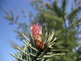 Norway spruce reddish female cones