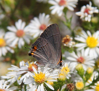 downy aster
