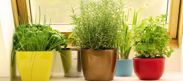 5 container herbs to use for your thanksgiving feast dave 39 s garden - Houseplants thrive low light youre window sill ...