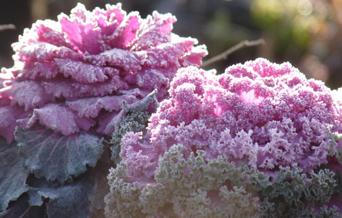 ornamental kale with frost