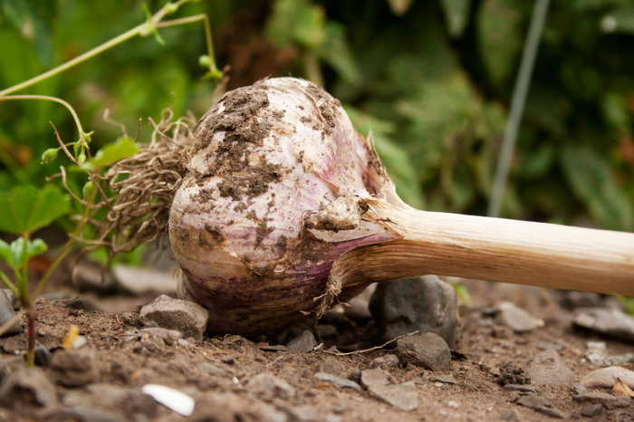 Garlic from the ground