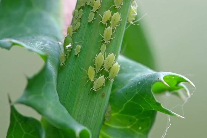 Aphids on a plant