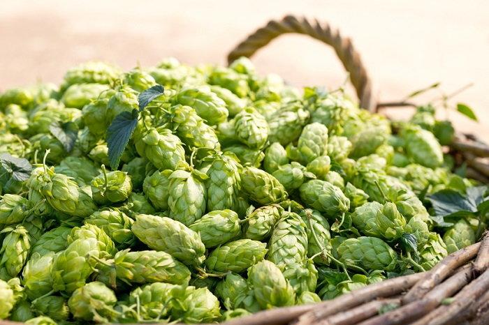 harvested hops in basket