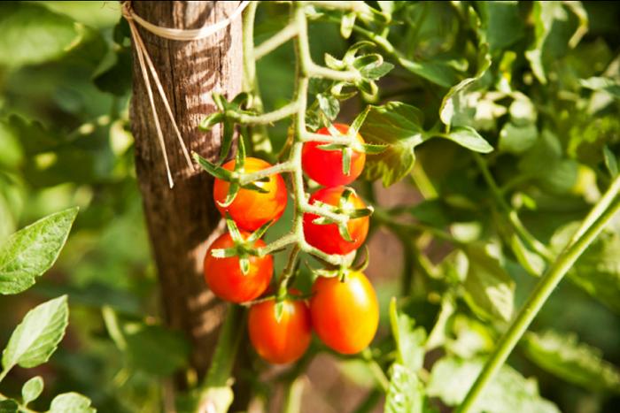 tomatoes growing in vertical garden