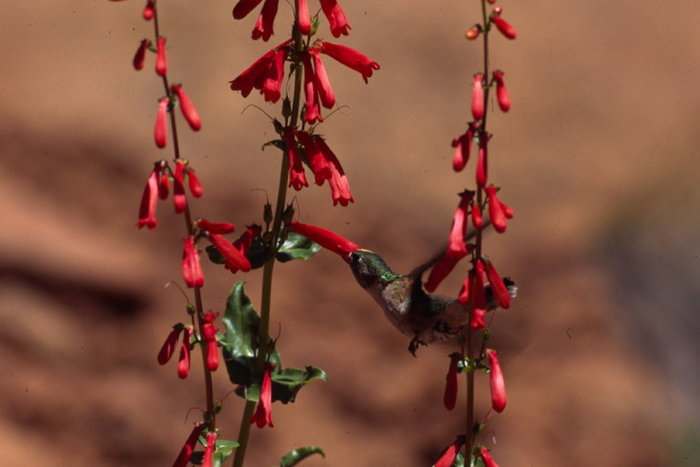 Red penstemon with hummingbird