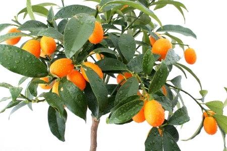 growing dwarf citrus trees indoors part 2. Black Bedroom Furniture Sets. Home Design Ideas