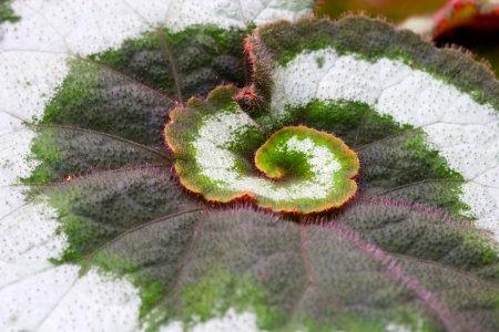Rex Begonia Facts Rex Begonia Facts