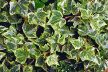 Fabulous Evergreen Ground Covers Growing English Ivy