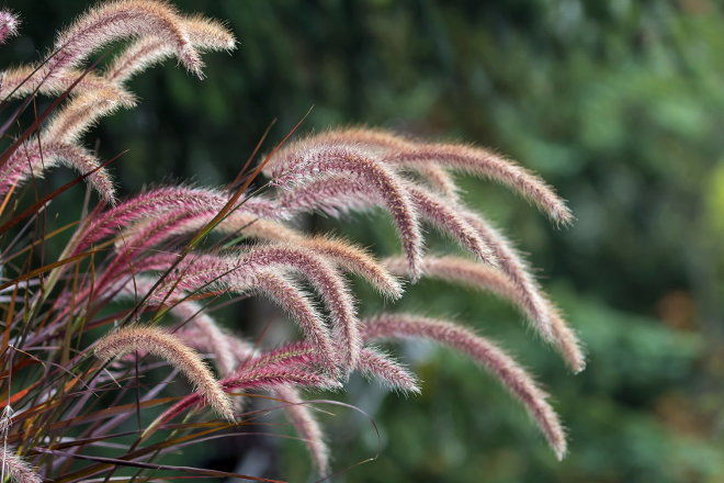 Ornamental grasses to grace your yard this fall for Tall purple ornamental grass