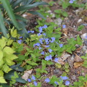5.9.13 Here is a native blue flower, Veronica austraica,that slowly spreads.