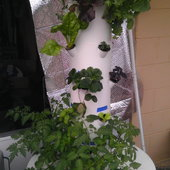 Tower Garden Jan. 5th, 2013. We have lettuces, kale, swiss chard, strawberry, and basils visible in this shot.