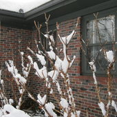 Snow clings to the hydrangea branches like cotton.