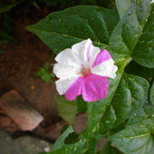Mirabilis flowering in different patterns in same plant in my garden