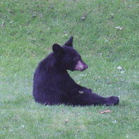 A black bear cub came visiting