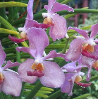 moms orchids in the caribbean