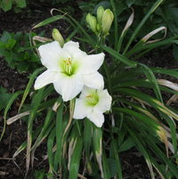 &#039;Call to Remembrance&#039; - a near-white daylily in the border