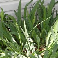 Iris budding