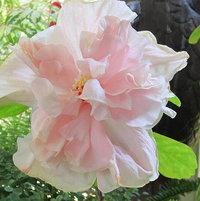 Cajun Hibiscus, Sweet Pink