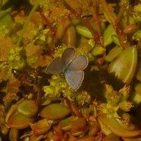 Ceraunus Blue (Hemiargus ceraunus) Male