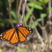 Monarch on my new purple porterweed.