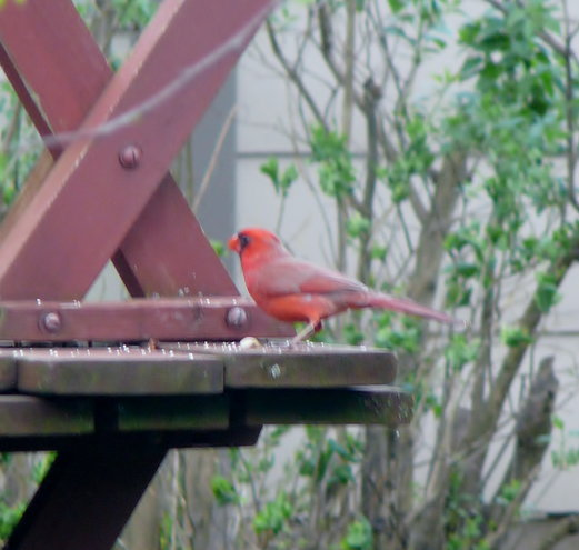 Not the best photo, but I have a special place in my heart for Cardinals. They've sort of been my connection to God...