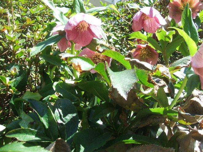earliest spring bloomers - Lenten Roses (helebores)