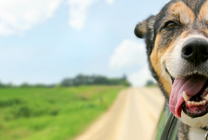 A dog sticking his head out a car on a country road.