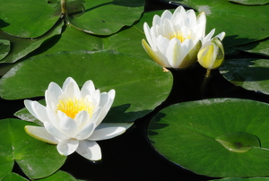 White water lilies.