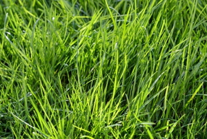 A lawn that's lush, green and thick