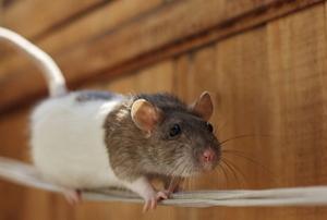 A mouse runs along a wire.