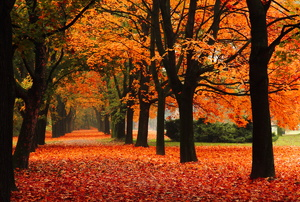 Orange leaves fall from trees.
