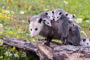 adorable baby possums with their mom