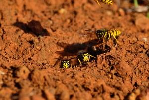 Yellow jackets (wasps)