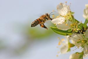 A honey bee landing on a white flower.
