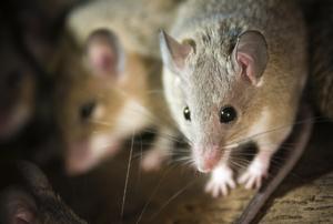 Mice hidden away in a nest.