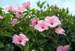 Hibiscus flowers.