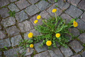A dandelion weed growing on a paved pathway