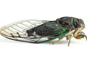 cicada on white background