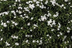 Jasmine.