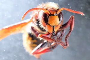 giant asian murder hornet
