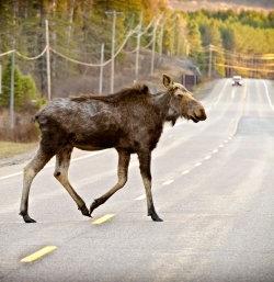 Avoiding Animals on the Road